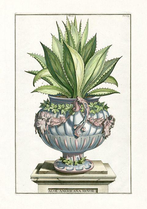 Abraham Munting Botanical Prints 1696
