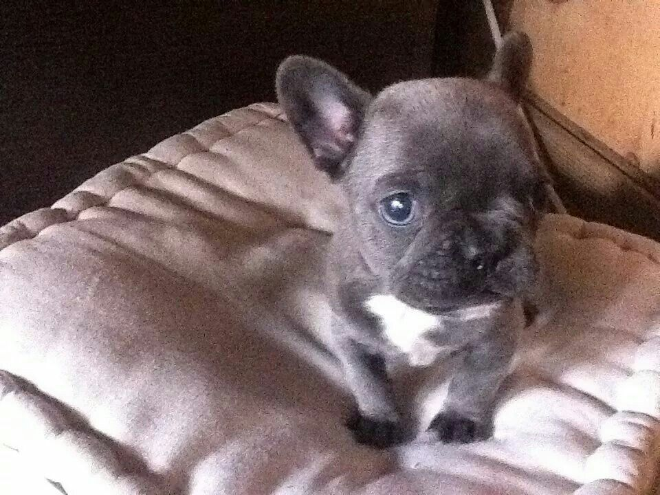 blue frenchie puppy price