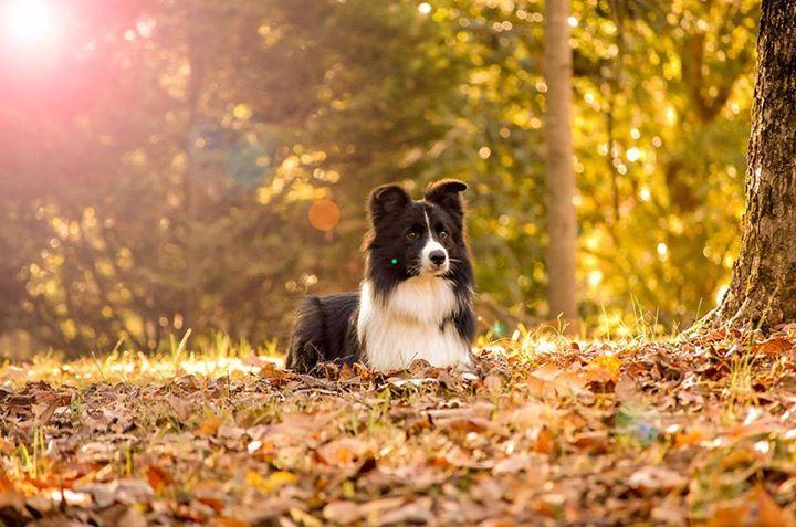 Border Collie Dog Breed Information Dog Breeds Collie Dog