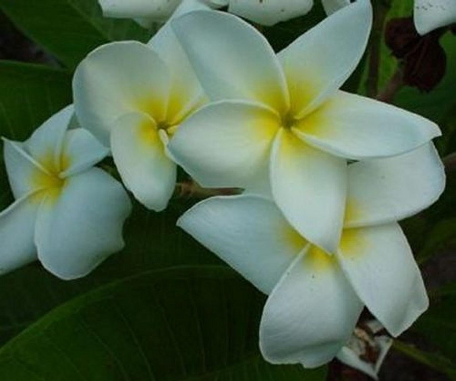 5 Fresh Thai Frangipani Flower Seeds, PLUMERIA RUBRA