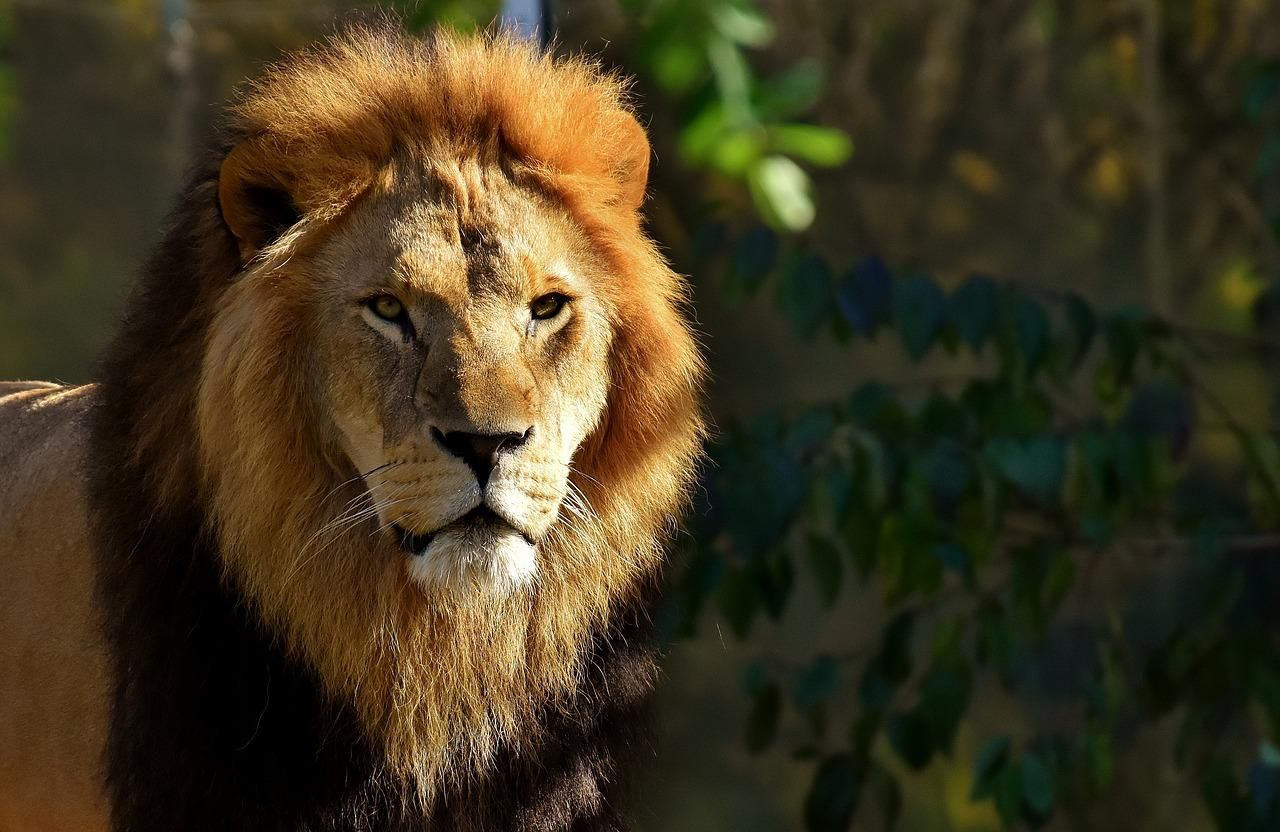 Did You Know That Male African Lions Usually Have Brown Or Black Hairs Around The Head And The Neck Male Lions Can Liv Lion Photography Majestic Animals Lion