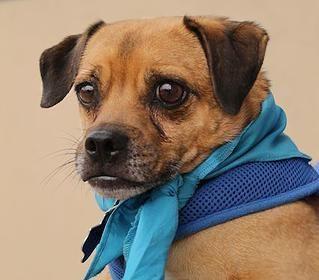 Bruno Pug Rescue Of Austin Adopt A Pug Pug Rescue Pugs For