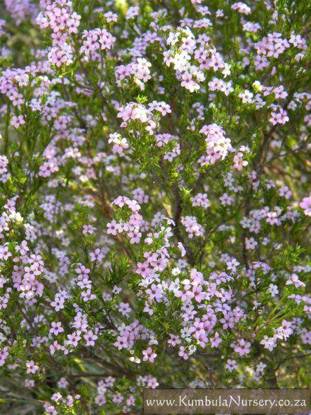 Coleonema Pulchellum African Plants Garden Ideas South Africa Water Wise Plants