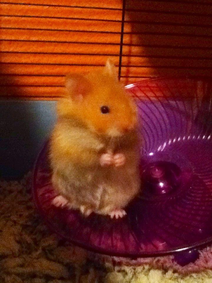 Baby teddy bear hamster | Teddy Bear Hamsters | Pinterest ...
