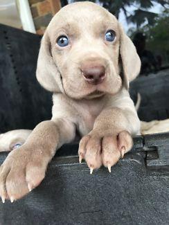 Weimaraner Puppies For Sale Dogs Puppies Gumtree Australia