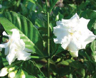 Tabernaemontana Divaricata Landscape Plants For South Florida Landscaping Plants Plants Fragrant Flowers