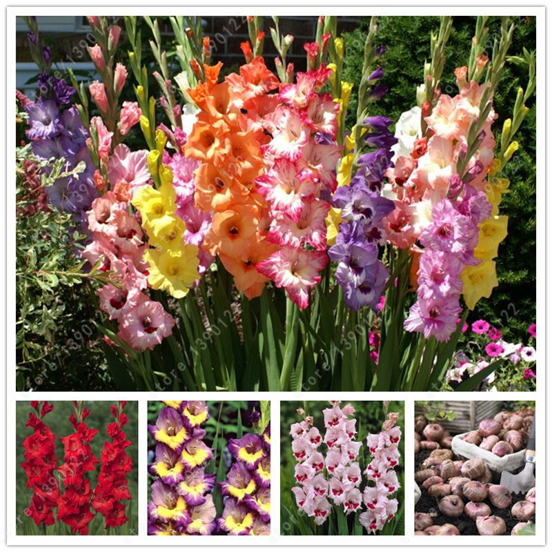 2 Bulbs True Gladiolus Bulbs Beautiful Gladiolus Flower Not Gladiolus Seed Flower Symbolizes Longevity Plant Bonsai Flower Gladiolus Bulbs Gladiolus Flower