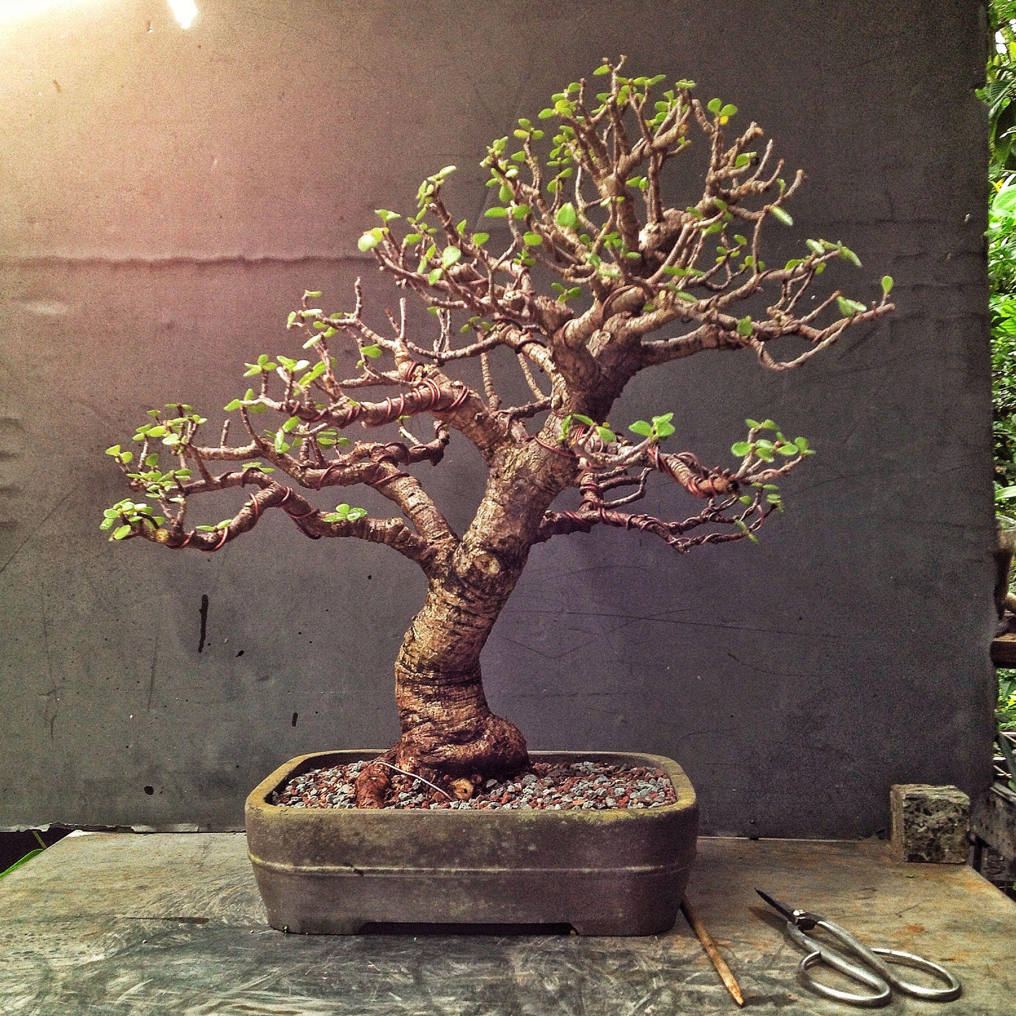 Marvelous Dwarf Jade Bonsai Techniques Adams Art And Bonsai Blog Gifts Wiring 101 Photwellnesstrialsorg