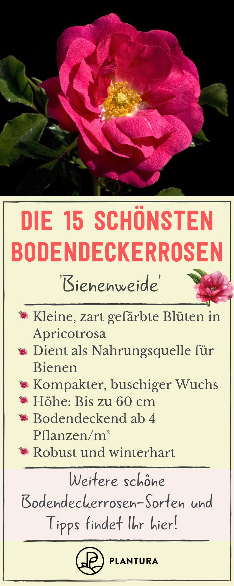Bodendeckerrosen Sorten Unsere Top 15 Plantura Bodendeckerrosen Pflanzen Rosensorten