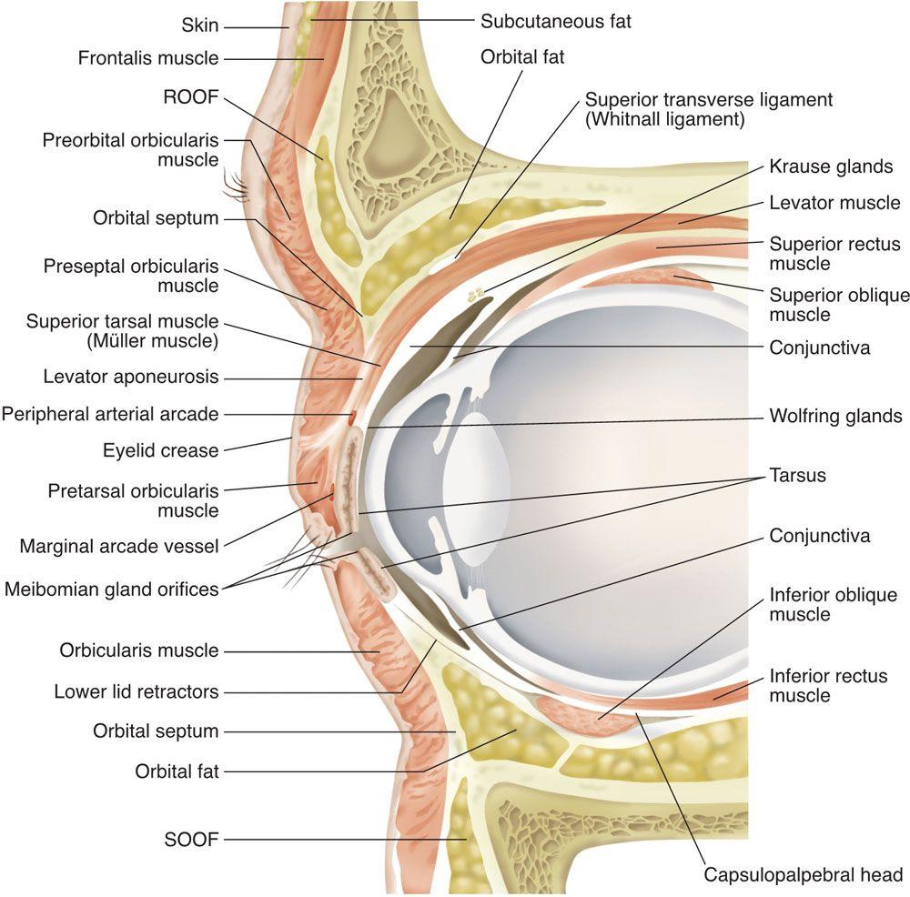 Anatomy Of Eye Lid Gallery Learn Human Anatomy Image Medical