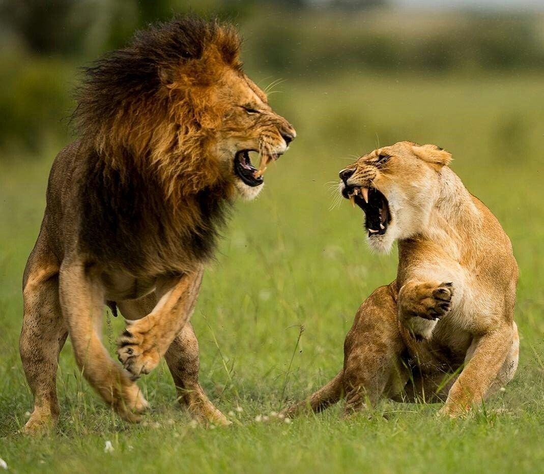 The young Lion couple is fighting... Cats Animals