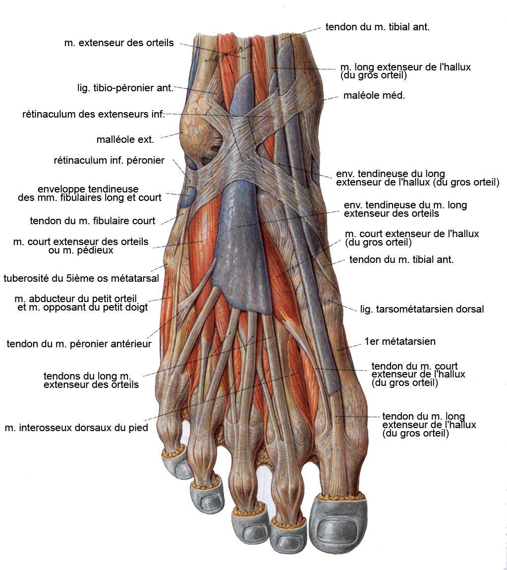 Diagrama de la anatomía de todo el cuerpo en los pies Diagrama de la ...