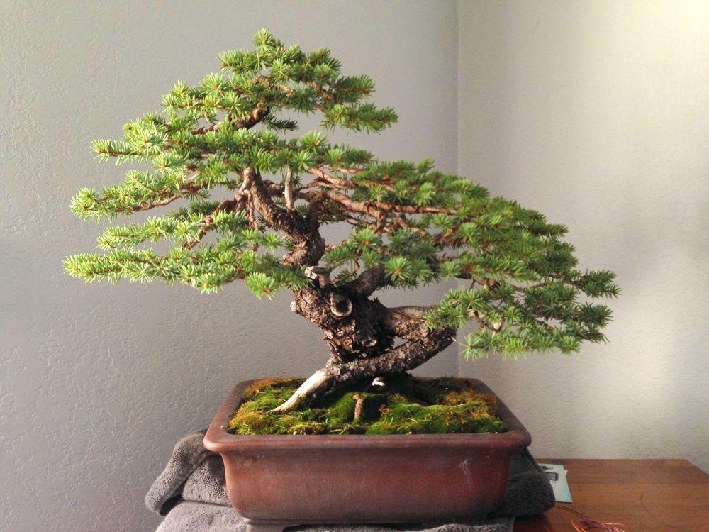 First Branch Bonsai Bonsai Trees For Sale Bonsai Bonsai For Sale