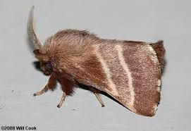 (Very social caterpillars) Eastern Tent Moth Malacosoma americanum 2.5 cm North America & Very social caterpillars) Eastern Tent Moth Malacosoma americanum ...
