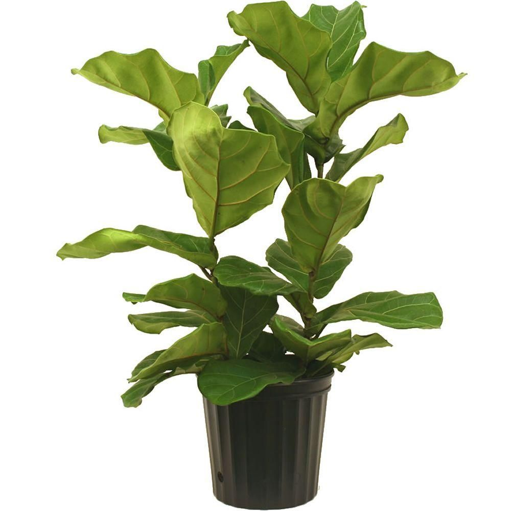 Delray Plants Ficus Pandurata Bush In In Grower Pot