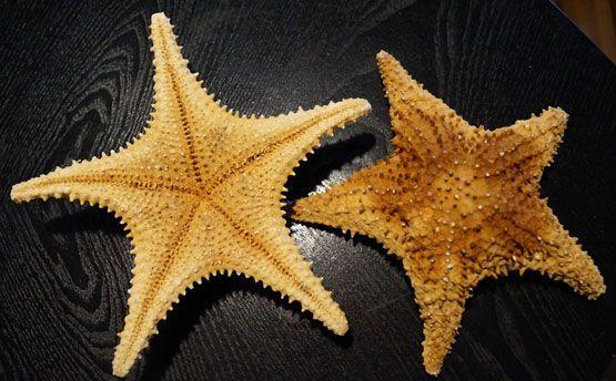 Pin On Dried Starfish Sea Stars