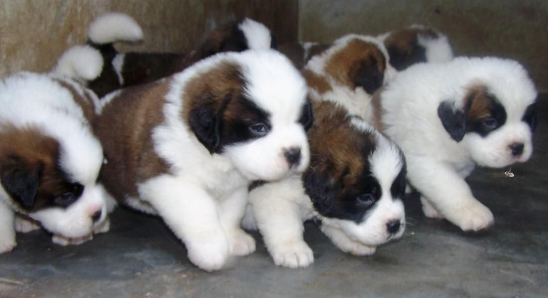 Saint Bernard Puppies For Sale St Bernard Price In India St