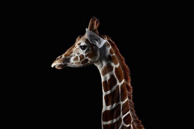 Incredible Studio Portraits Of Wild Animals By Brad Wilson: Brad Wilson Captures Spectacular Studio Portraits Of Wild