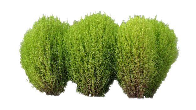 bushes Google Search BushesShrubs and Plants Pinterest