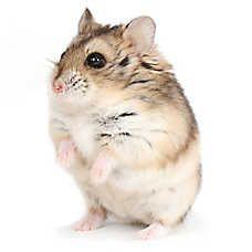 Male Russian Dwarf Hamster Russian Dwarf Hamster Dwarf Hamster