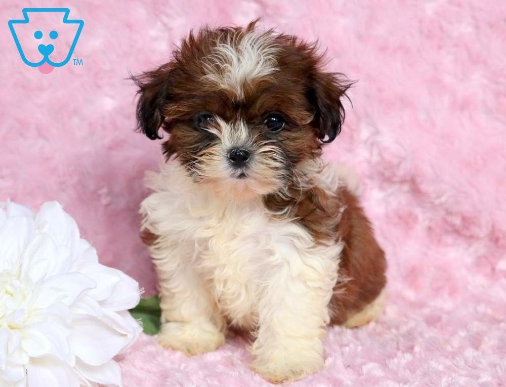 Paige Shih Tzu Puppy For Sale Keystone Puppies Shihtzu Keystonepuppies Shih Tzu Puppy Shih Tzu Puppies For Sale
