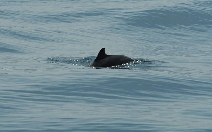 European Commission asks United Kingdom to designate protected areas for   harbour porpoise