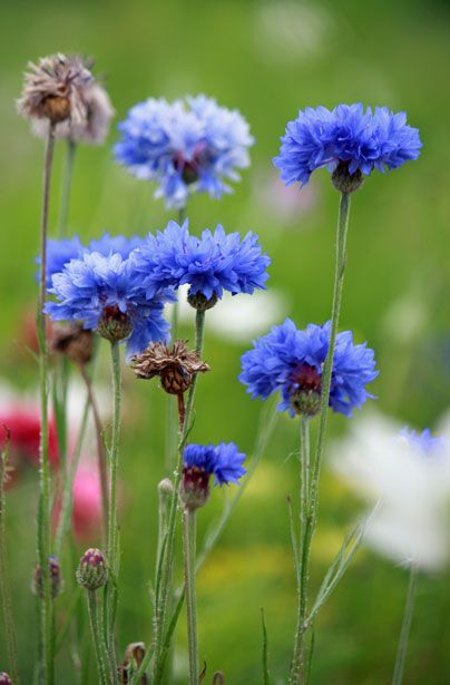 Blue Cornflower Knapweed Is The National Flower Of Germany Germany Tattoo Flowers Cornflower