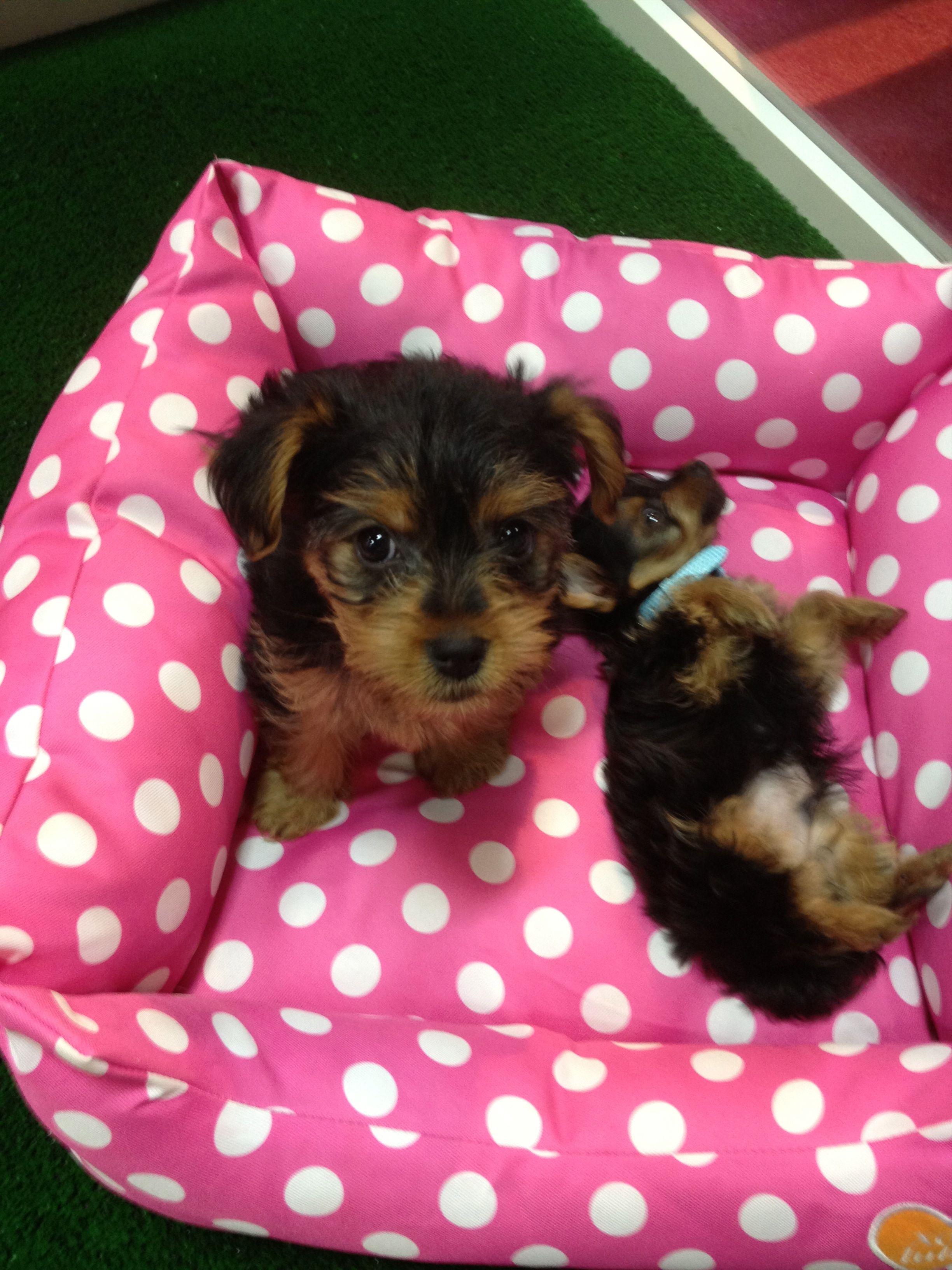 Yorkshire Terrier Puppy Perros Bellos Perros Cachorros