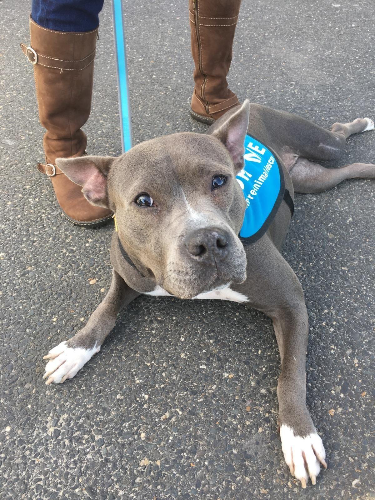 Adopt Kiwi On Pitbull Terrier Dog Adoption Pets