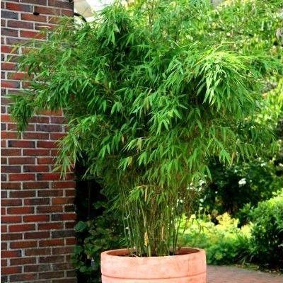 bambou fargesia jumbo bambou