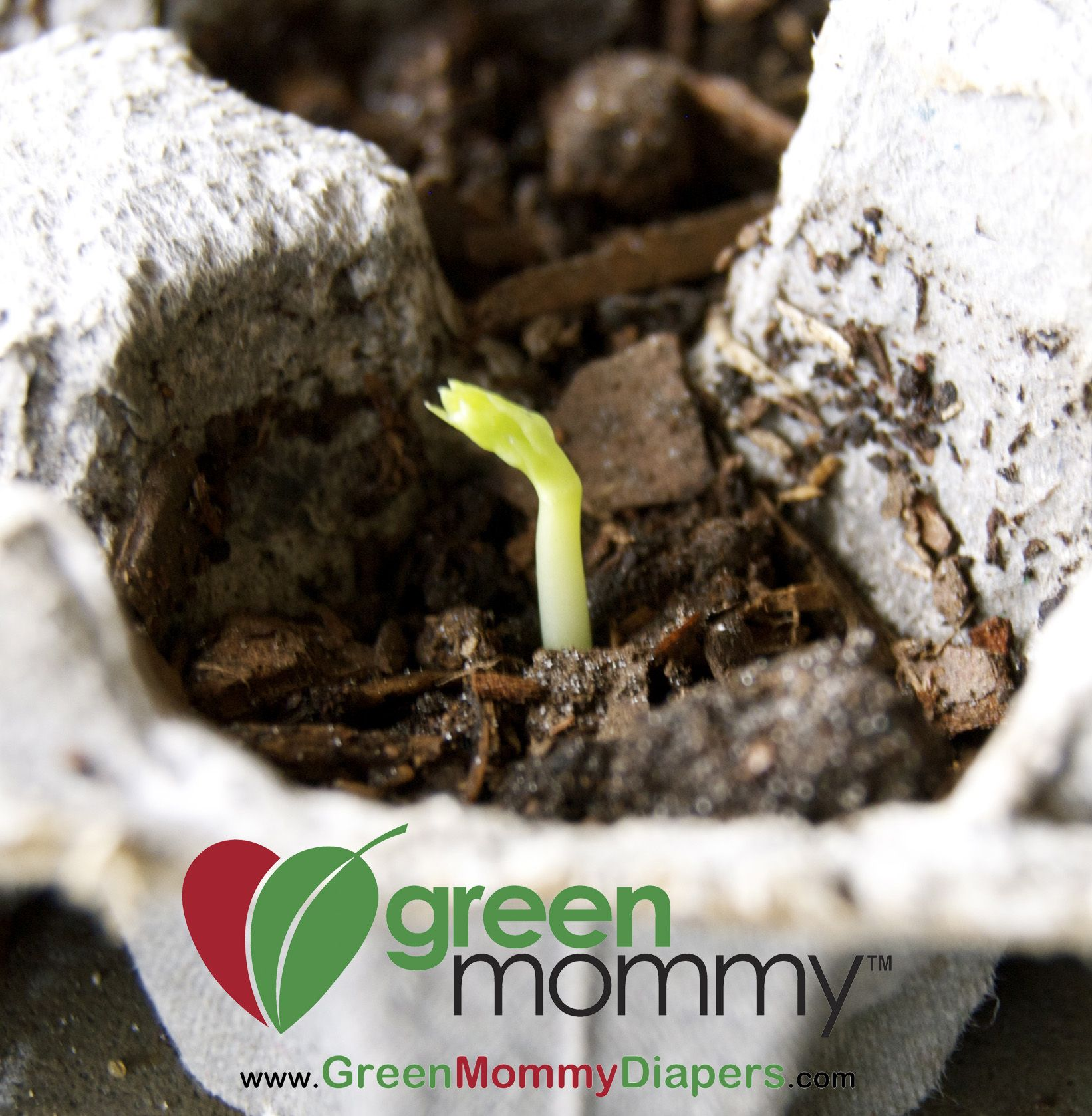Egg Carton Gardening Pea Seedling