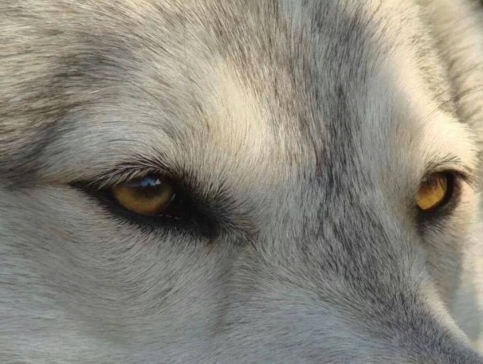 The Alpha Wolf Wolf eyes, Arctic wolf