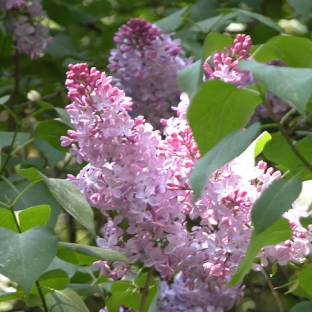 Pruning Lilac Bushes When To Trim Lilac Bushes Lilac Plant Lilac Bushes Prune Lilac Bush