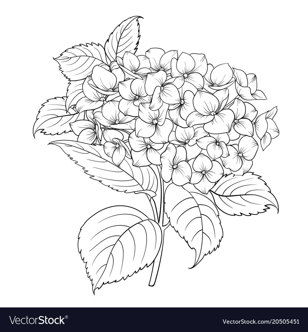 Blooming Flower Hydrangea Vector Image On Vectorstock Flower Drawing Floral Drawing Hydrangea Painting
