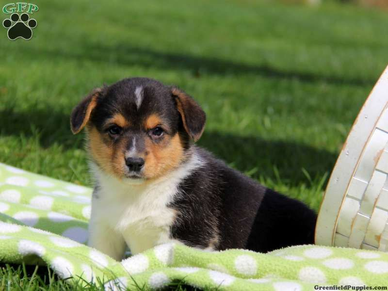 Winston, Welsh puppy for sale in Gap, Pa Puppies