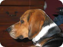 Adopt Cozmo Adopted On Adoptable Beagle Beagle Dog Family Dogs