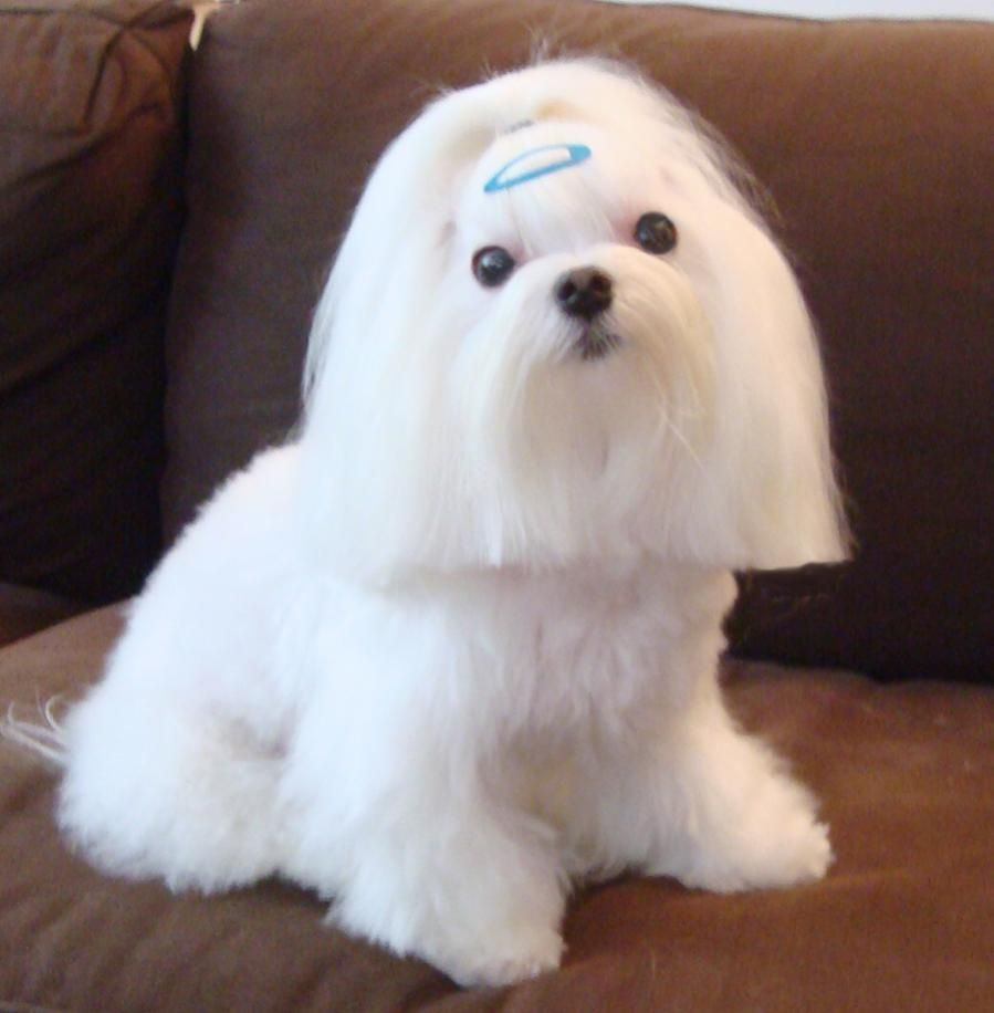 Pin By Mischelle Weaver On Dogs And Dog Stuff Maltese Dogs Haircuts Maltese Dogs Shih Tzu Funny