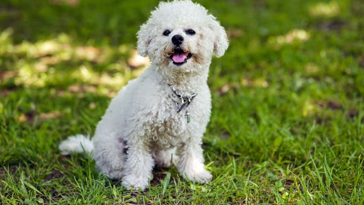 6 Reasons Your Dog May Be Whining What You Need To Know In 2020 Dogs Hypoallergenic Dogs Small Dog Breeds That Dont Shed