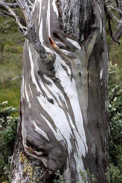 Snow Gum Guthega Nsw Australian Trees Tree Photography Eucalyptus Tree