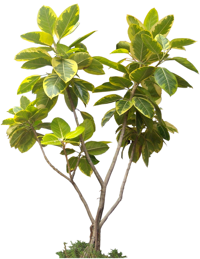 20 free tree png images ficus altissima01l ps for 20 plantas ornamentales