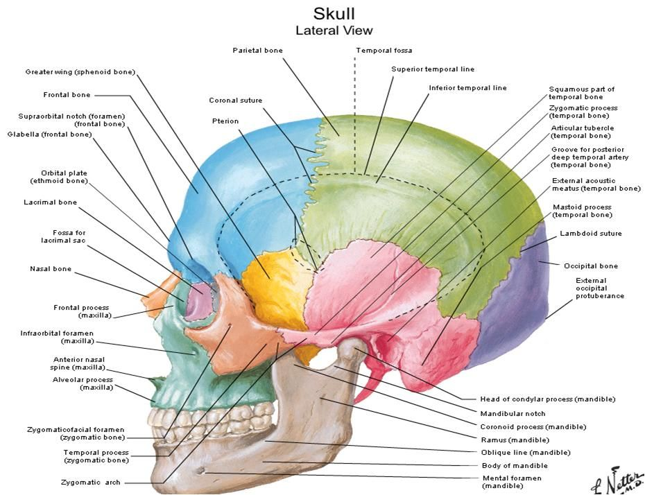 diagrams of anatomy of skull with radiographic land marks, Human Body