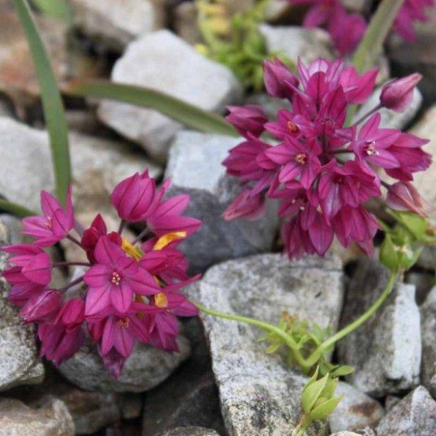 allium oreophilum ail d 39 ornement formant des tapis de petites fleurs rose liliac my. Black Bedroom Furniture Sets. Home Design Ideas