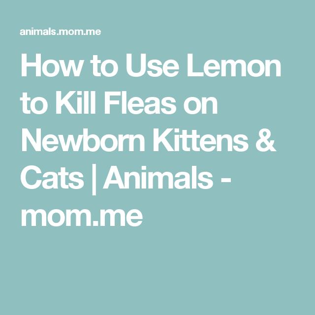 How To Use Lemon To Kill Fleas On Newborn Kittens Cats Animals Mom Me With Images Newborn Kittens Fleas Kittens