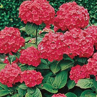 Red Hydrangea Full Sun To Full Shade Grows 3 6 Tall Red Hydrangea Hydrangea Varieties Bulb Flowers