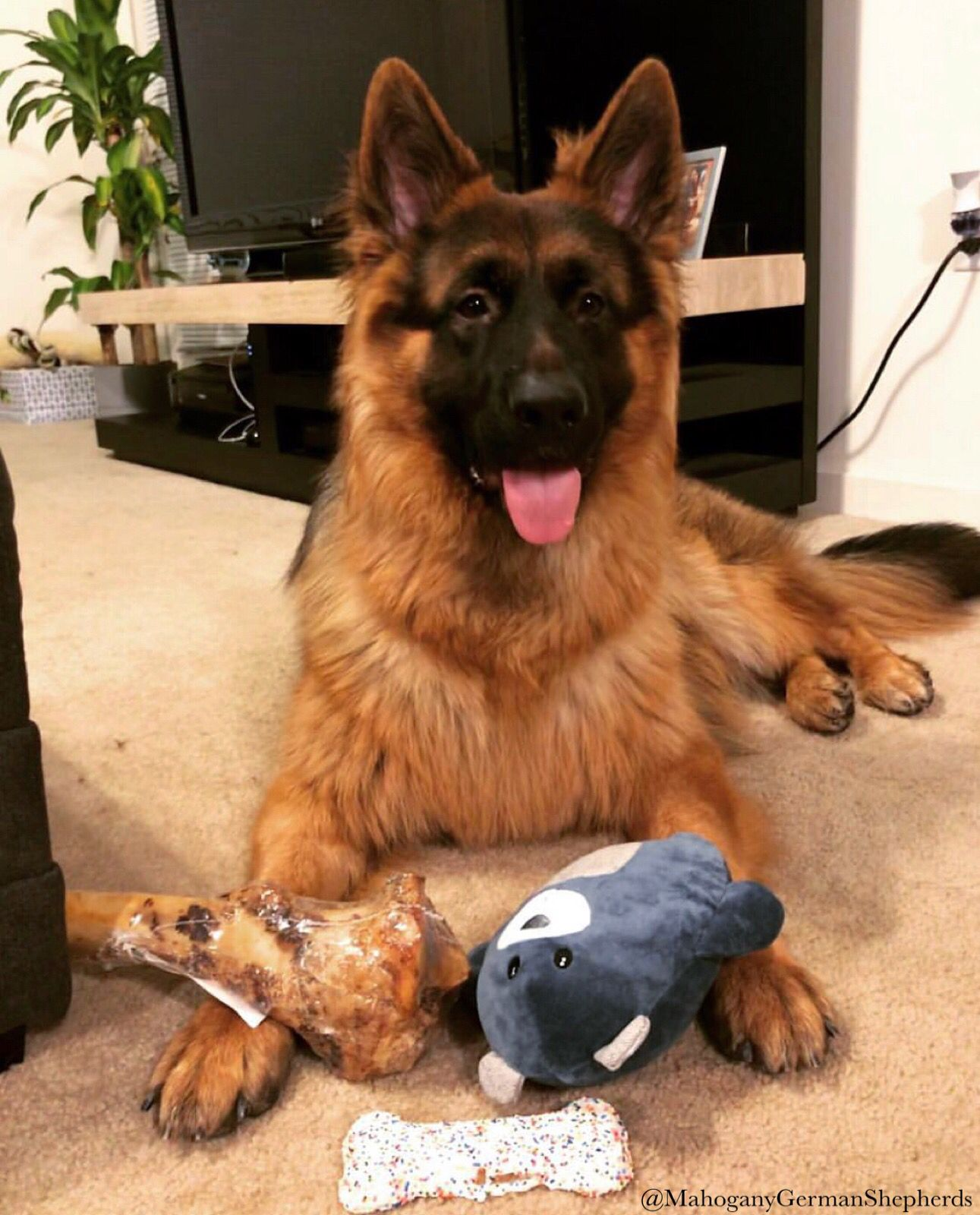 Maggies First Litter Turned 1 Years Old Gsd Gsdstagram