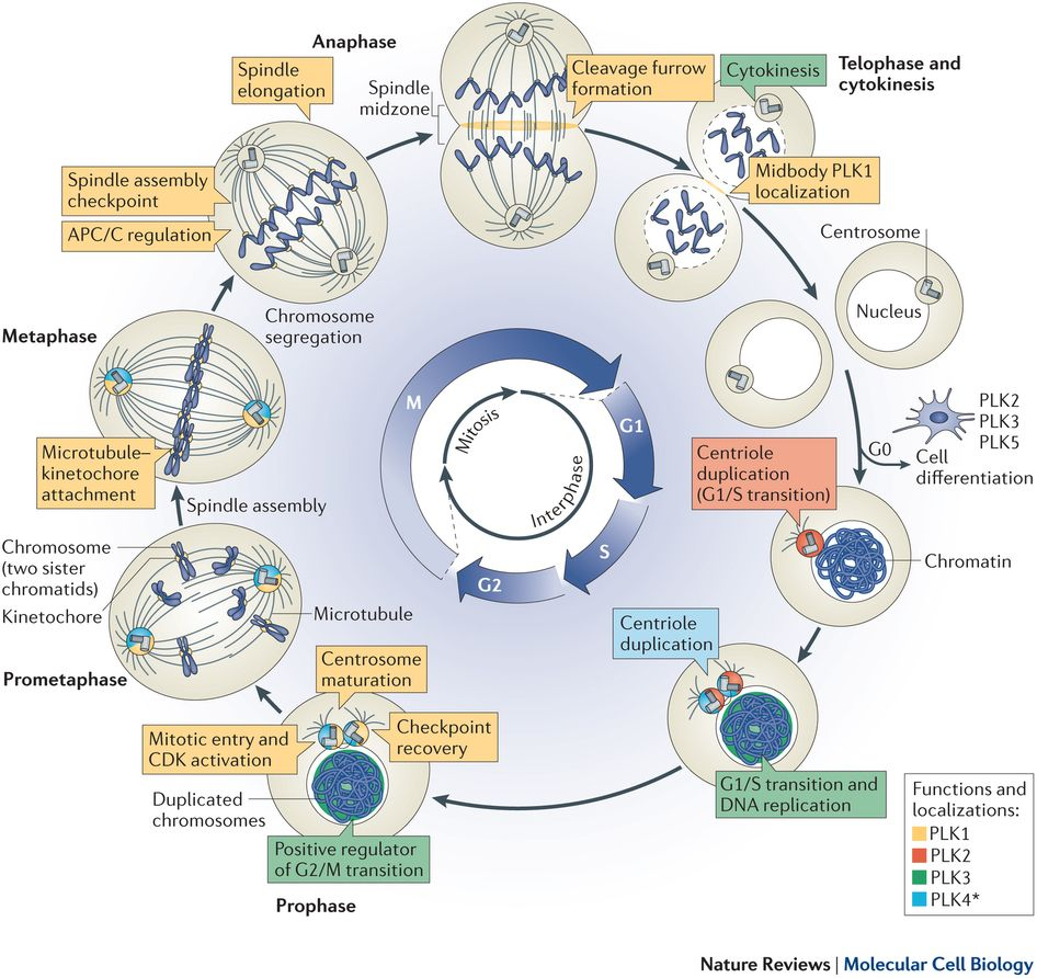 Cell cycle Cell cycle, Cell biology, Cell division