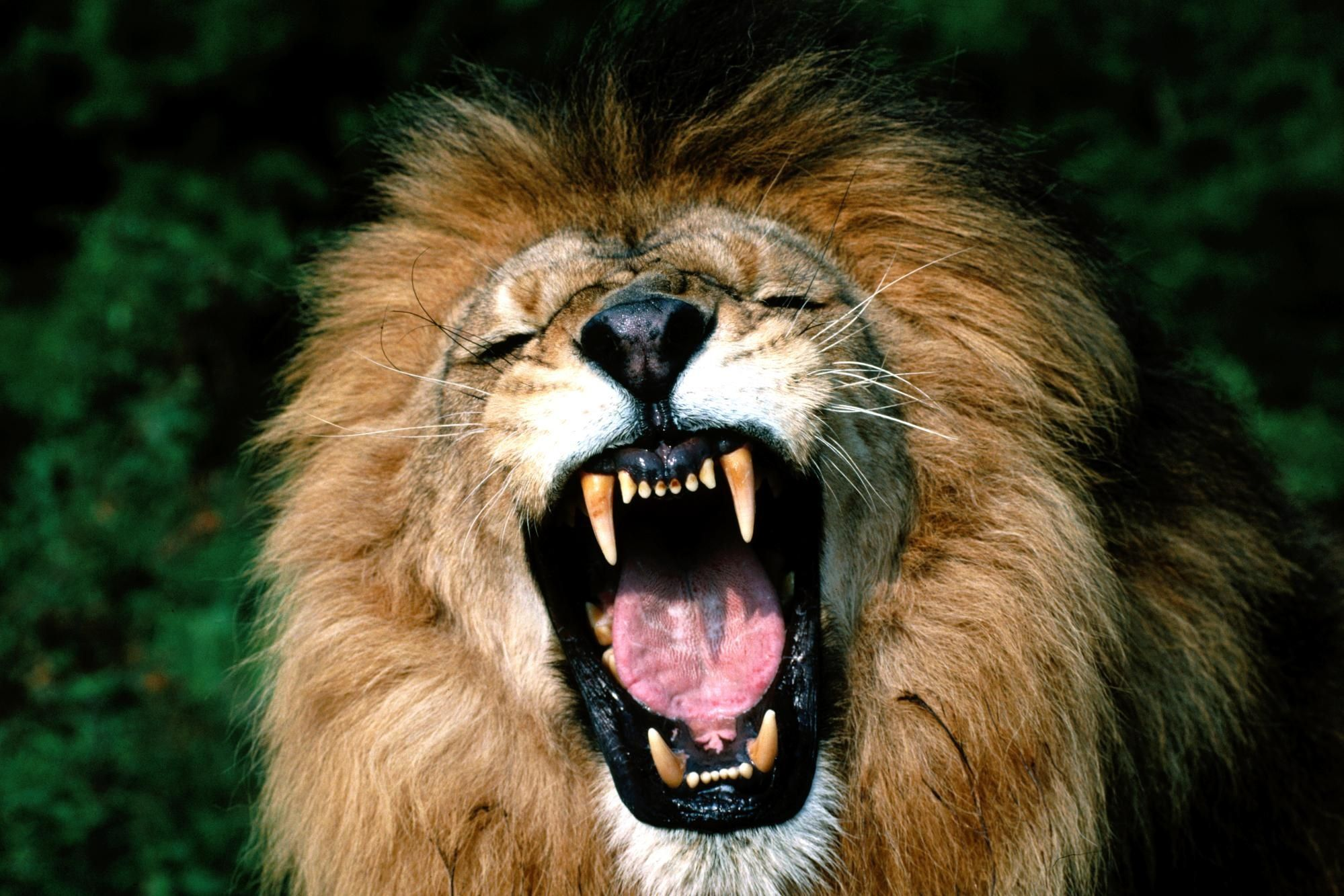 Download Wallpaper Lion Face Teeth Anger Aggression Mane