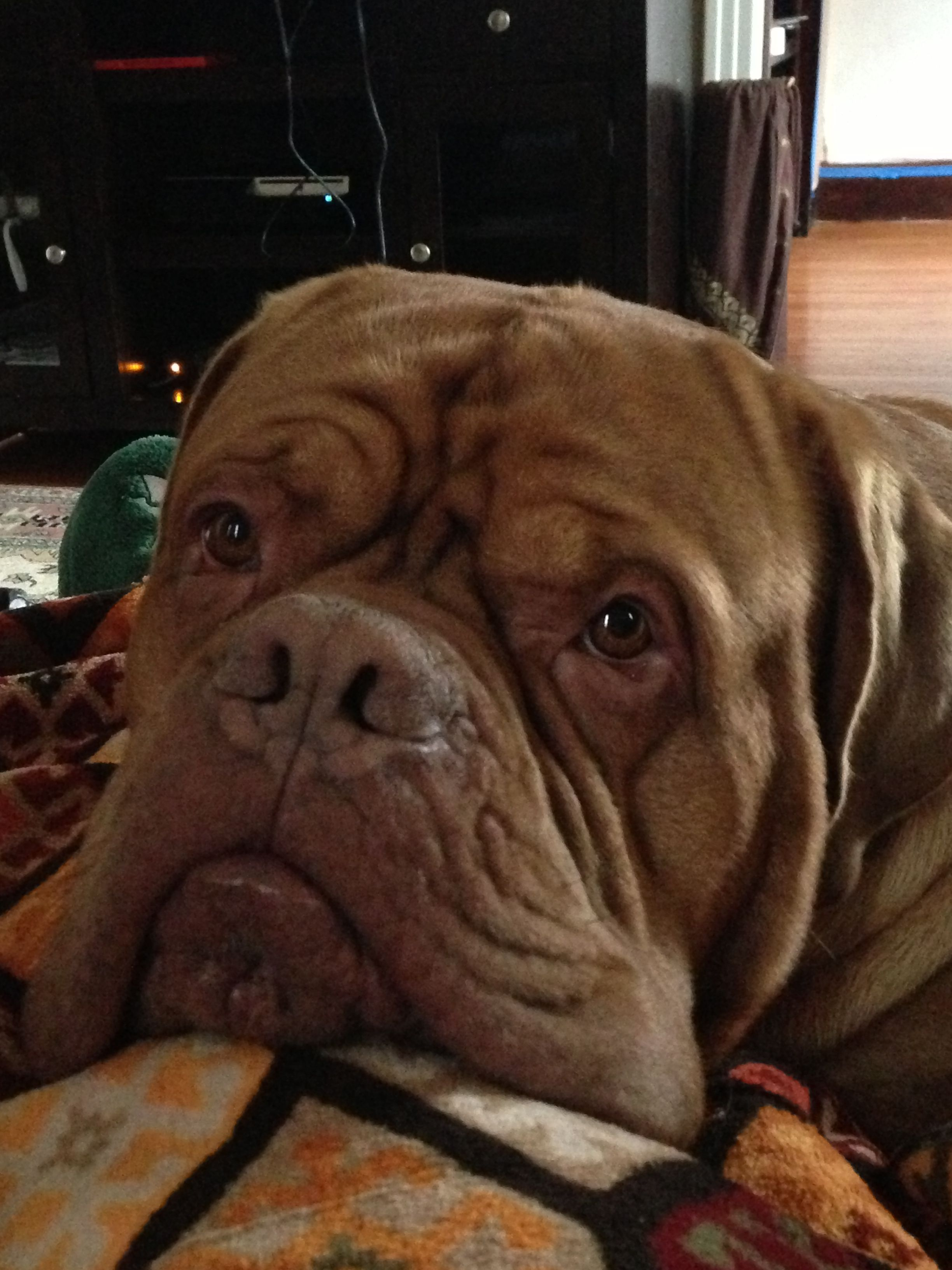 French mastiff. 3 years old! Love this face! Puppylove