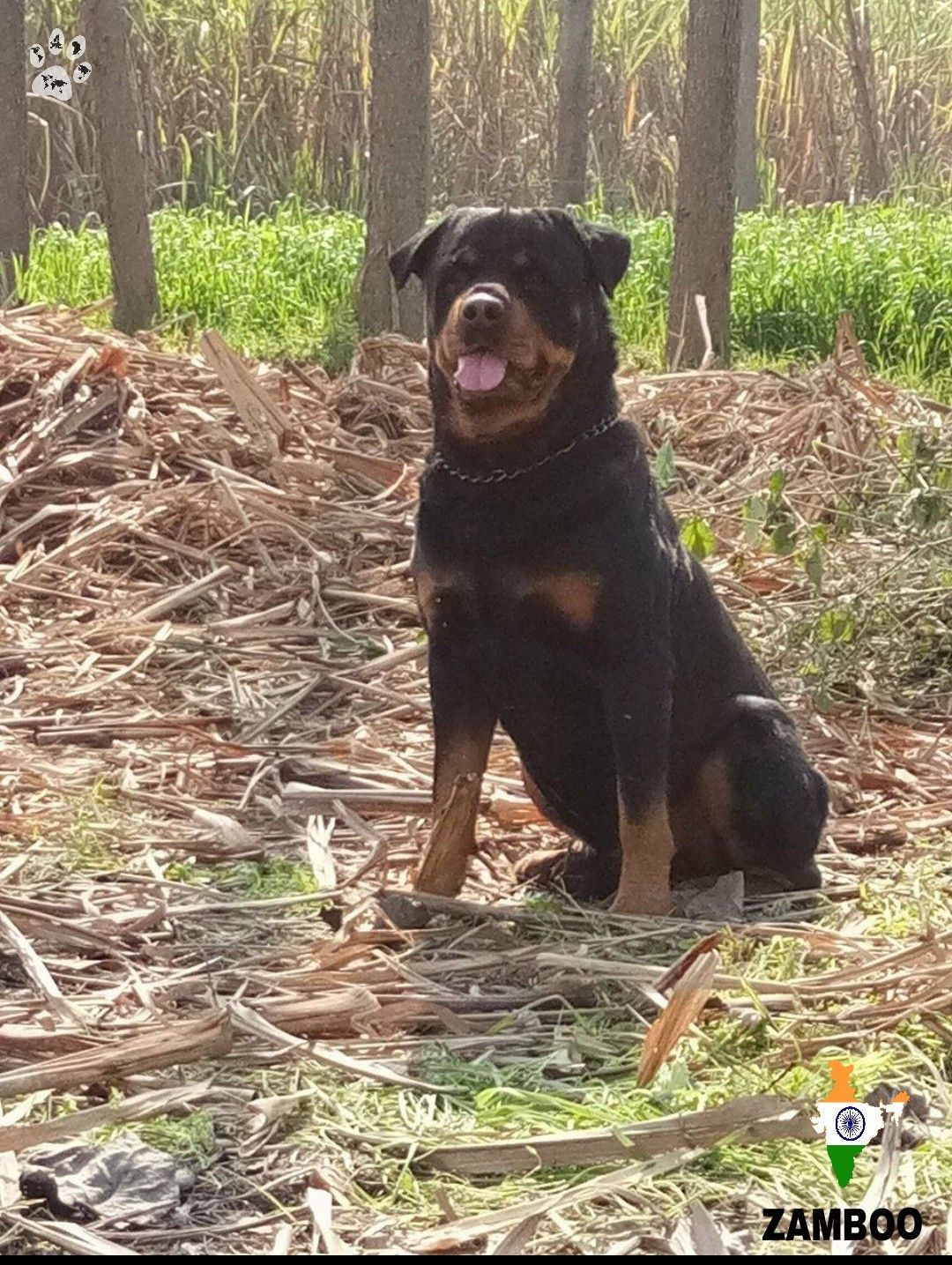 Zamboo 8years Rottweiler From India Rottweiler Big Dogs