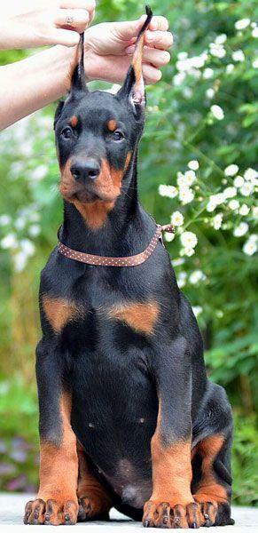 male doberman puppy for sale